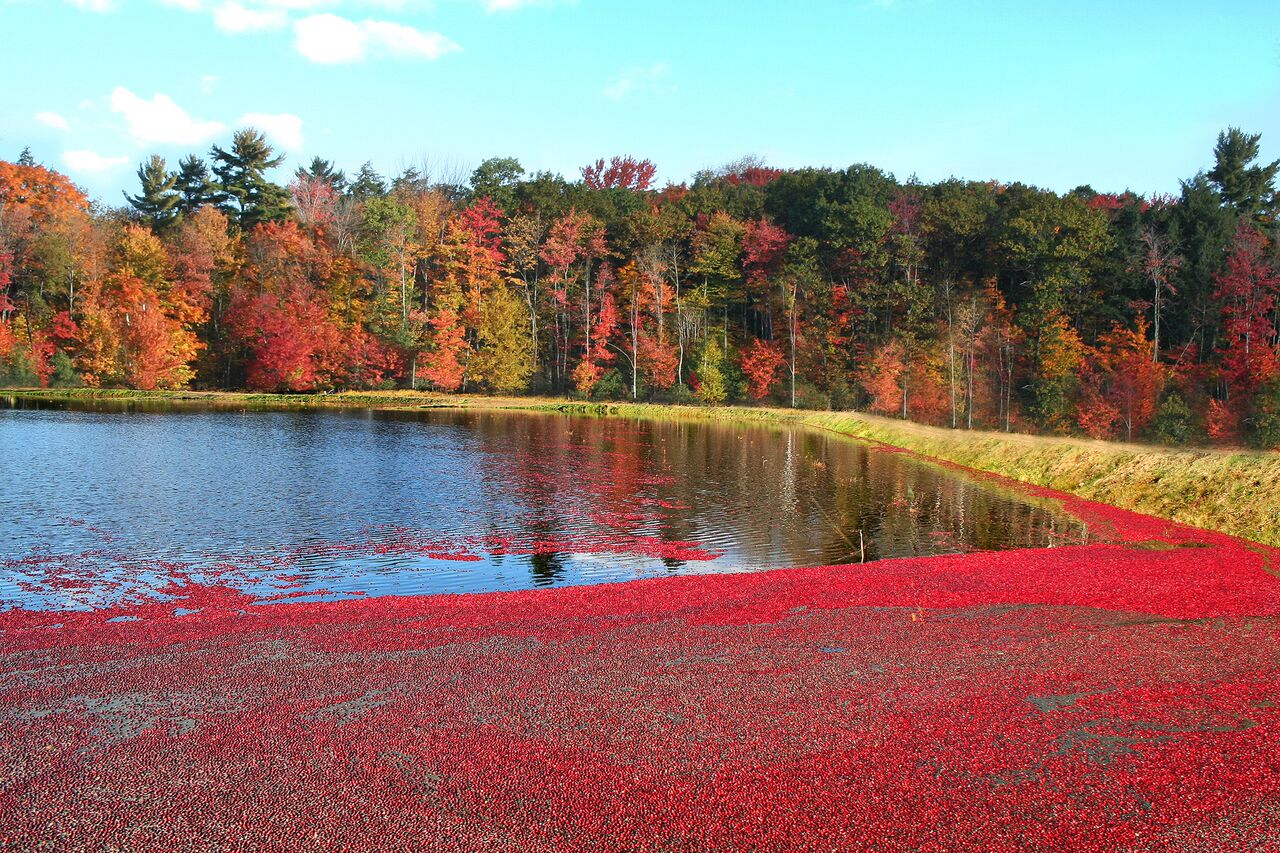 How to pick cranberries in Canada 53