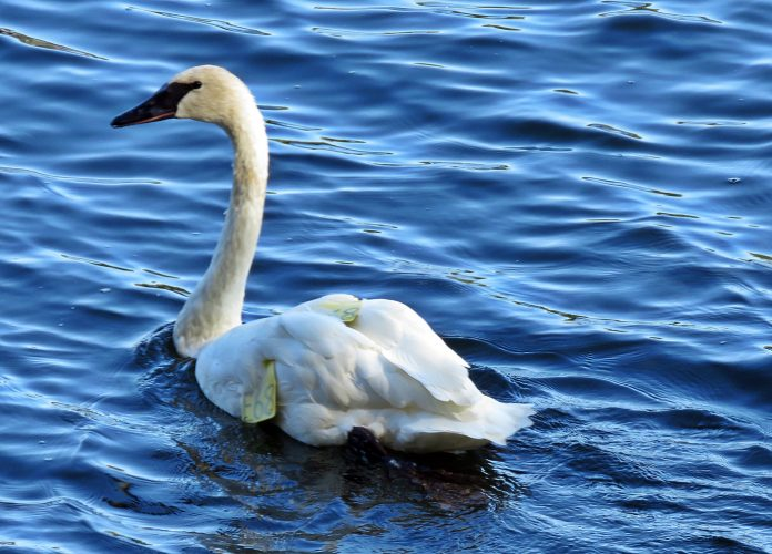 Luna, a trumpeter swan from Six Mile Lake that died after being shot and suffering lead poisoning. Photo by Anne Lewis