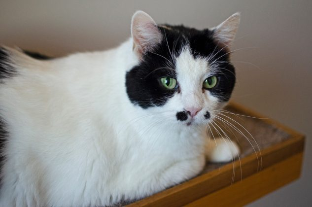 Comfie Cat resident