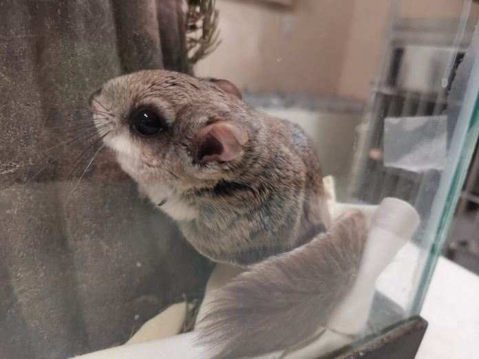 Flying squirrel in enclosure at Aspen Valley Wildlife Sanctuary