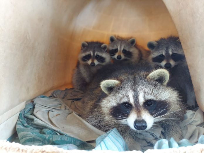 A mother raccoon and her kits