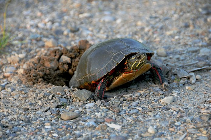 A painted turtle nesting. Turtle nesting season starts mid-May and extends into July with peak season occurring throughout the month of June.