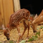 Fawns inside the new enclosures funded by Cailan Punnewaert's first paddle fundraiser in 2020. Photo courtesy of Aspen Valley Wildlife Sanctuary